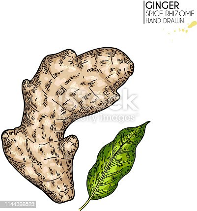 Hand drawn ginger root and leaf. Vector colored engraved illustration. Spicy rhizhome vegetable. Food ingredient, aromatherapy, cooking. Cosmetic package design, medicinal herb, treating, healthcare.