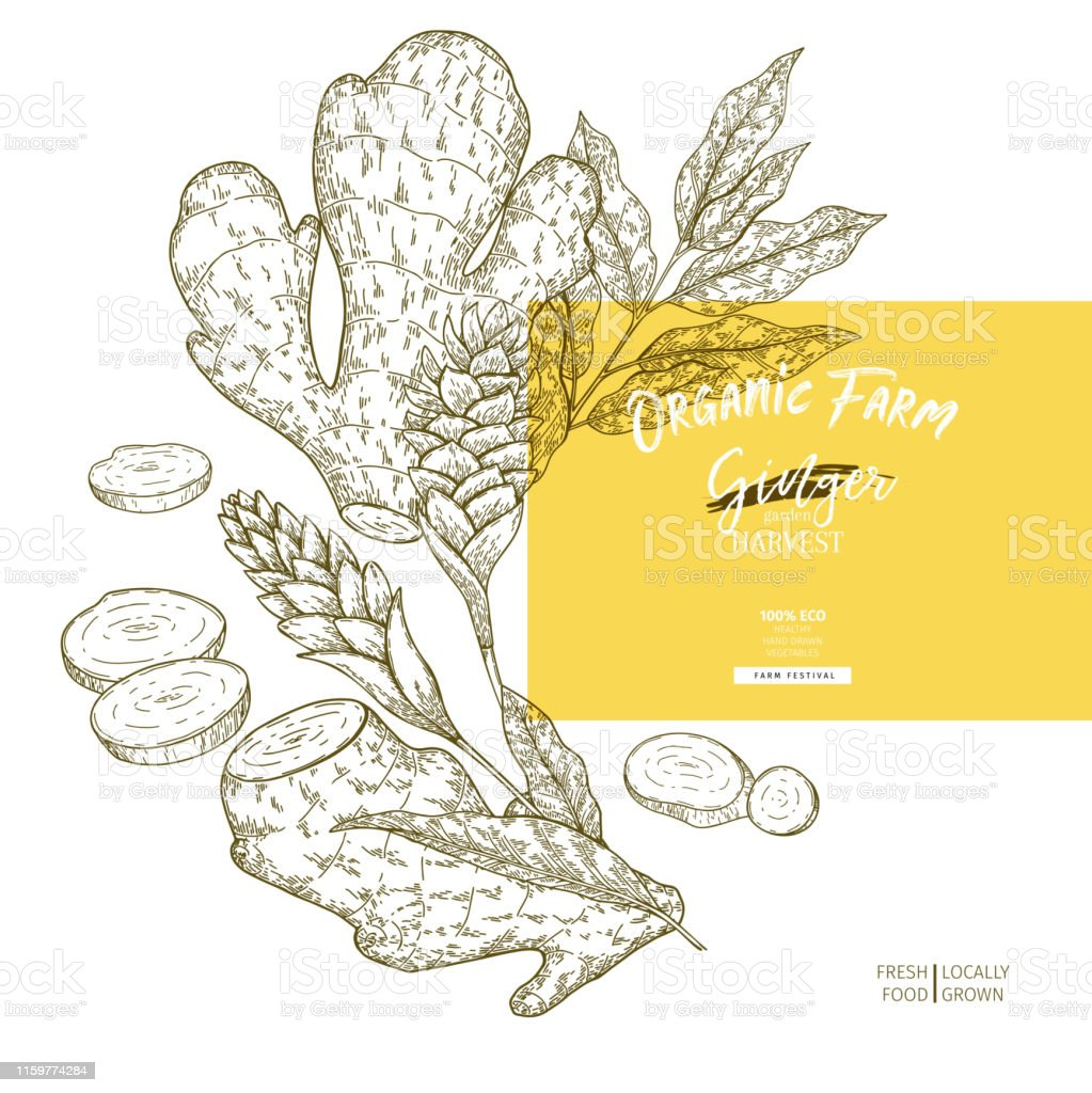 Hand drawn ginger root and leaves. Engraved colored vector banner....