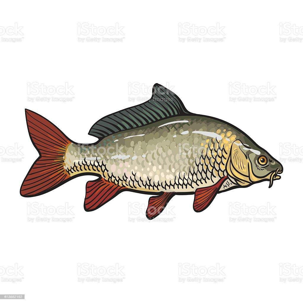 Hand drawn golden carp, sketch style vector illustration vector art illustration