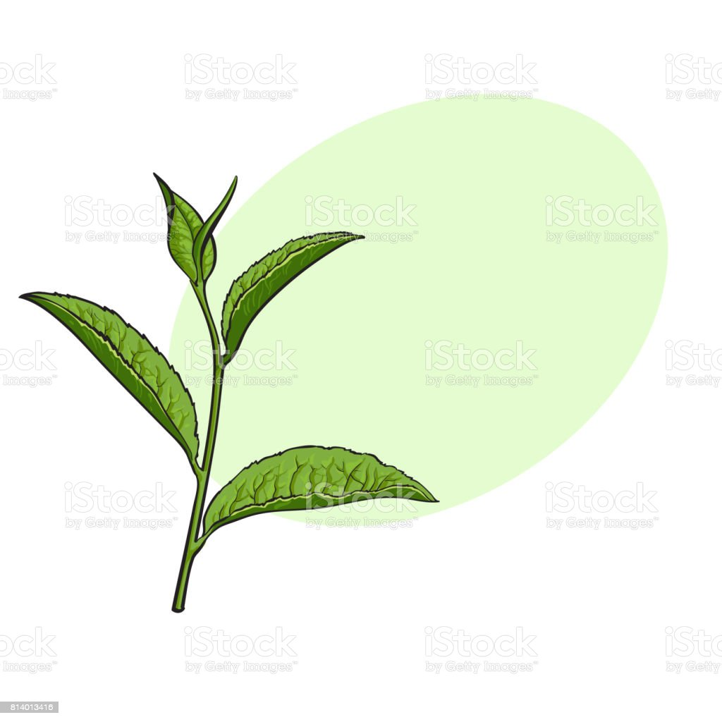 Hand Drawn Green Tea Leaf Side View Sketch Vector Illustration Stock Illustration Download Image Now Istock