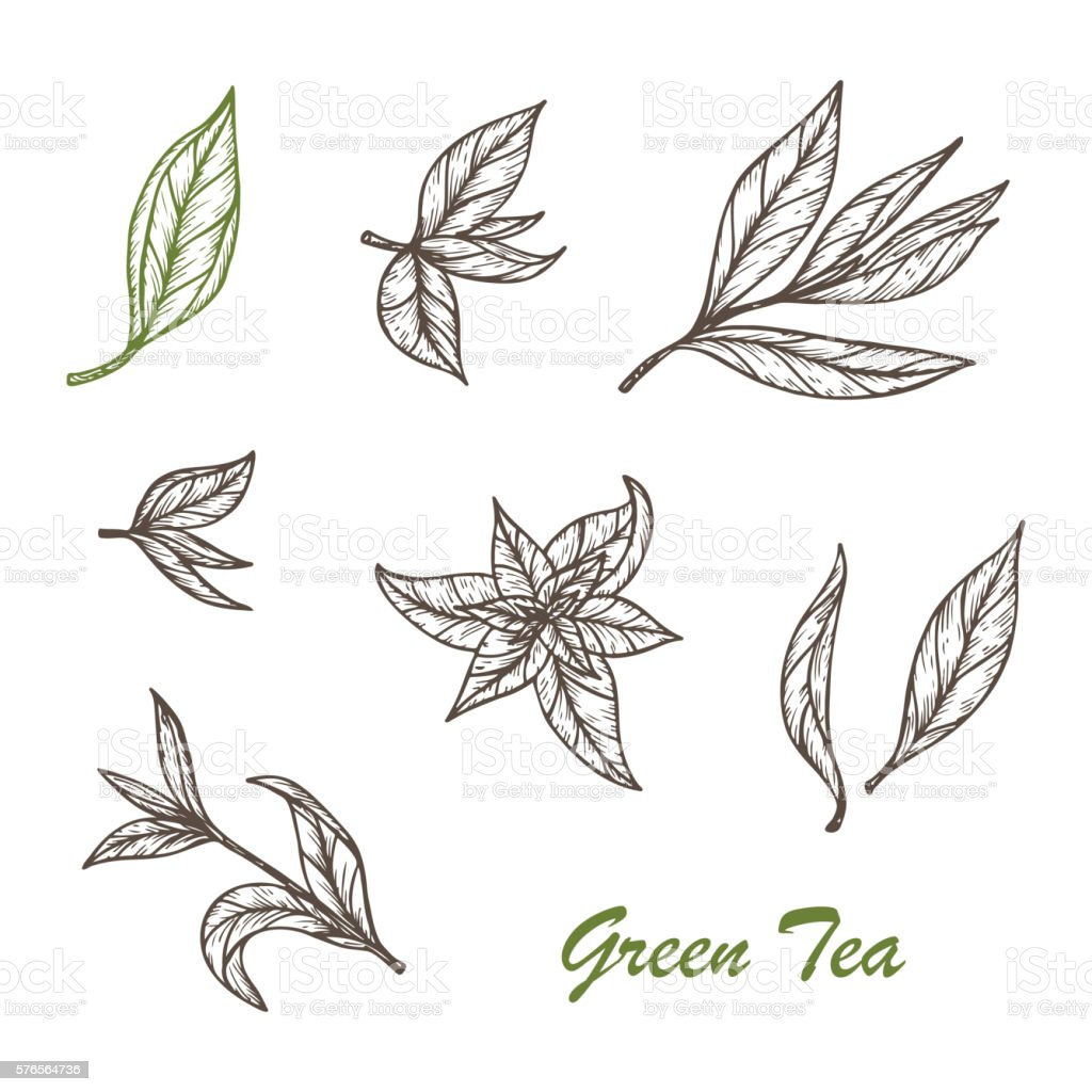 Hand Drawn Green Tea Leaves Set Vector Illustration Stock ...