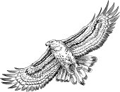 Hand drawn hawk illustration