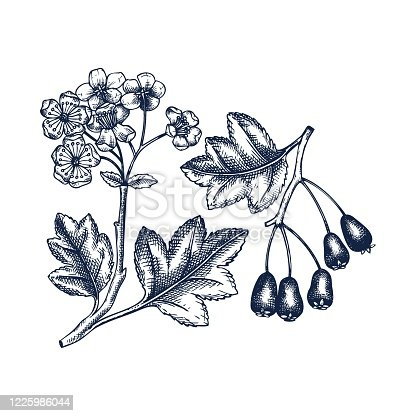Hand drawn hawthorn with berries and flowers vector illustration in engraved style. Wild berries on white background. Hand drawing. Vintage garden berry sketch. Hawthorn tree branch outline.
