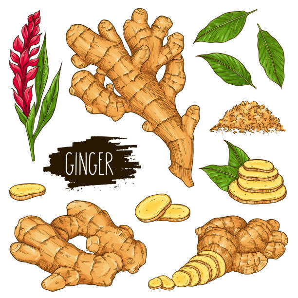 Hand drawn herbal set of ginger isolated on white background Hand drawn herbal set of ginger root, slices pieces, powder, leaves and flower isolated on white background with label. Design for shop, market, book, menu, poster, banner. Vector sketch illustration ginger spice stock illustrations