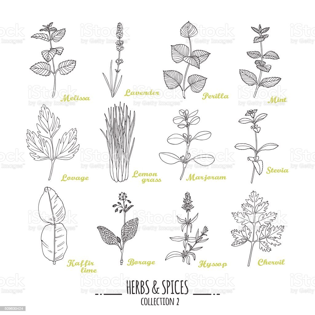 Hand drawn herbs and spices collection. Outline style seasonings vector art illustration