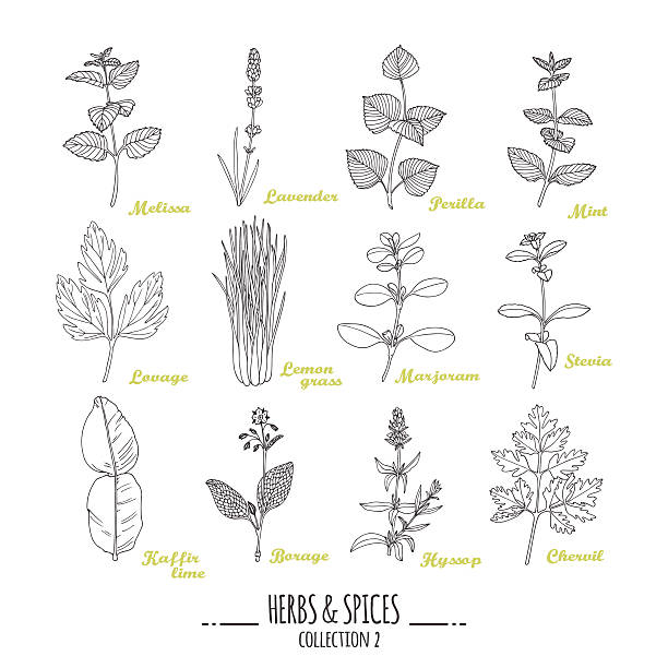 Hand drawn herbs and spices collection. Outline style seasonings Hand drawn herbs and spices collection. Outline style seasonings. Vector illustration lavender plant stock illustrations