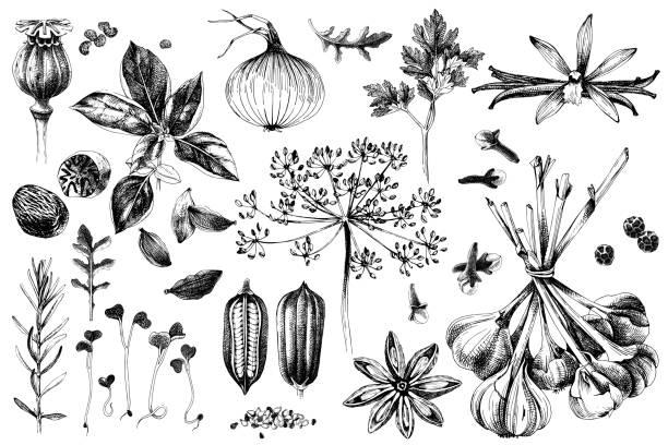illustrazioni stock, clip art, cartoni animati e icone di tendenza di hand drawn herbs and spices set - aglio cipolla isolated