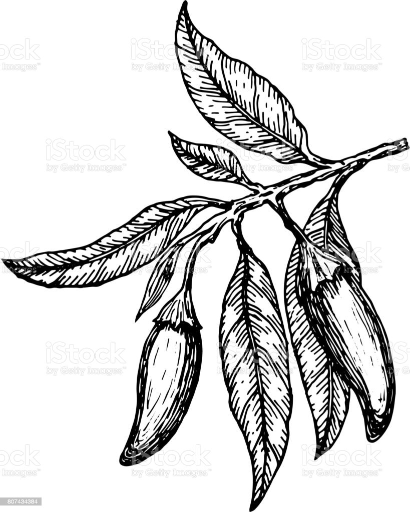Hand drawn сhili peppers on a branch. Vector illustration. vector art illustration