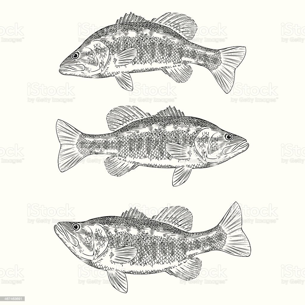 Hand Drawn Illustration of a Large Mouth Bass vector art illustration