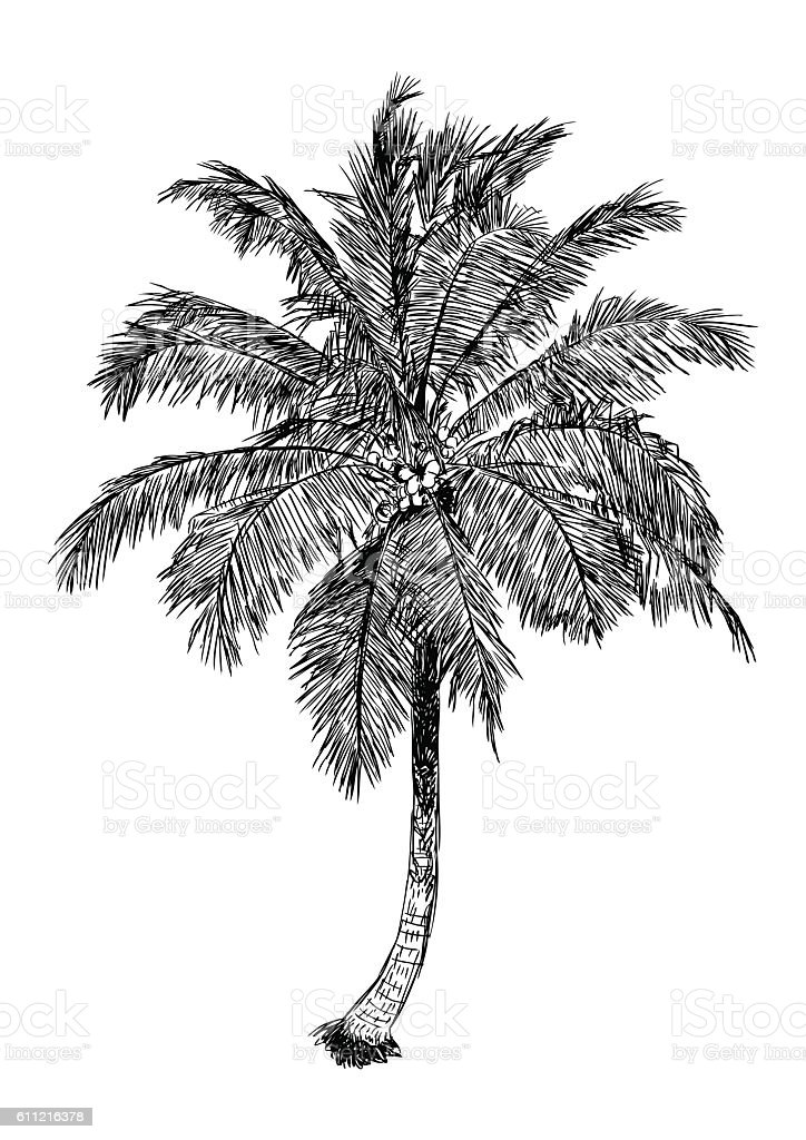 Hand Drawn Illustration Of Coconut Tree Sketch Of Palm Tree Stock ...