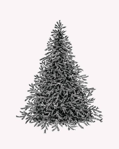 bildbanksillustrationer, clip art samt tecknat material och ikoner med hand dras illustration av vintergröna träd. botaniska vinage fir tree. - gran