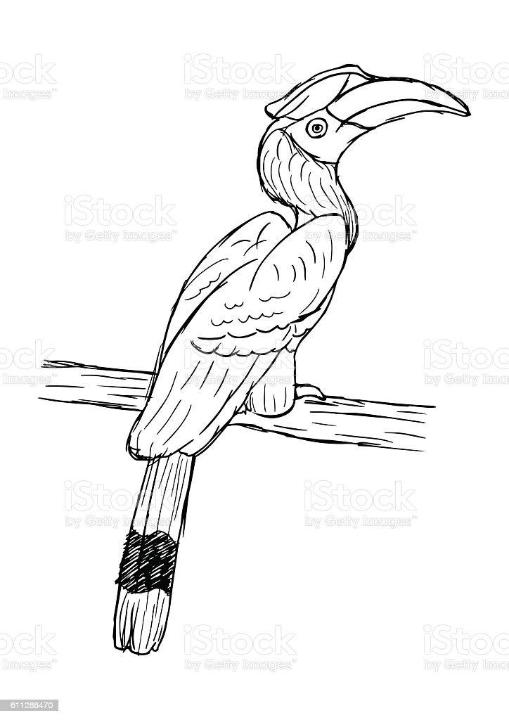 hand drawn illustration of hornbill bird. isolated realistic sketch vector vector art illustration