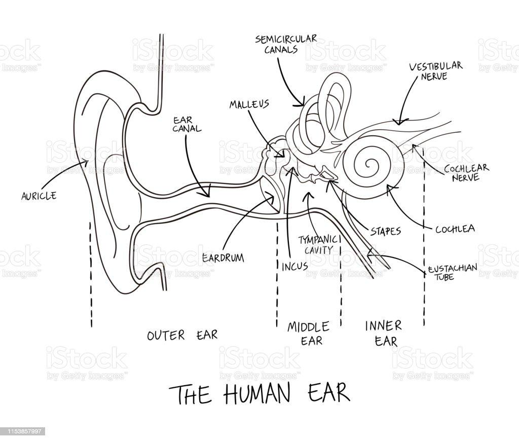 hand drawn illustration of human ear anatomy stock illustration - download image now
