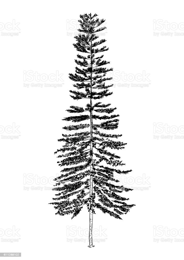 hand drawn illustration of pine tree sketch of tree isolated realistic tree vector royalty