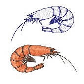 Hand drawn illustration of shrimp isolated - outline and colored one