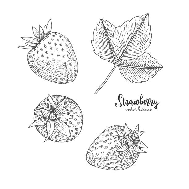Hand drawn illustration of straweberry isolated on white background. Berries engraved style illustration. Detailed vegetarian food. Applicable for menu, flyer, label, poster, print, packaging. vector art illustration