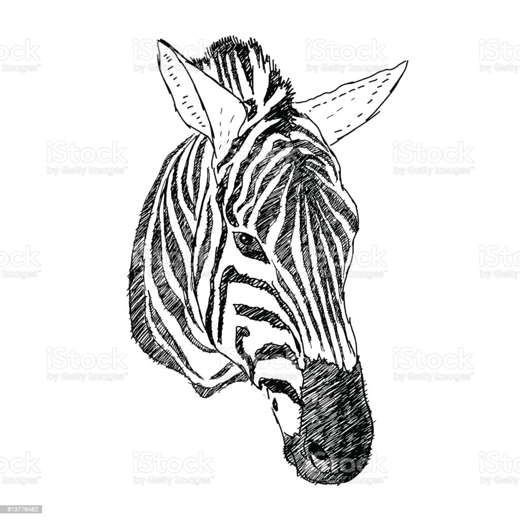 Hand Drawn Illustration Of Zebra Head Realistic Sketch Of Animal