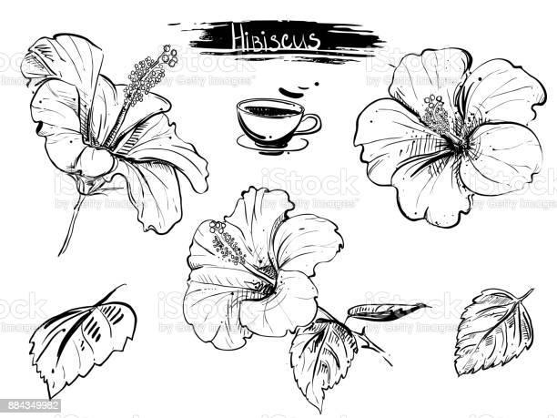 Hand drawn illustration set of hibiscus flowers branch leaf vector id884349982?b=1&k=6&m=884349982&s=612x612&h=rnrozbnsf 1kvklcjmbejiqjvz flz b 12hibclvvu=