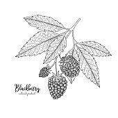 Hand drawn illustrations of blackberry isolated on white background. Vintage botanical engraving illustration of blackberry. Applicable for menu, flyer, label, poster, print, packaging