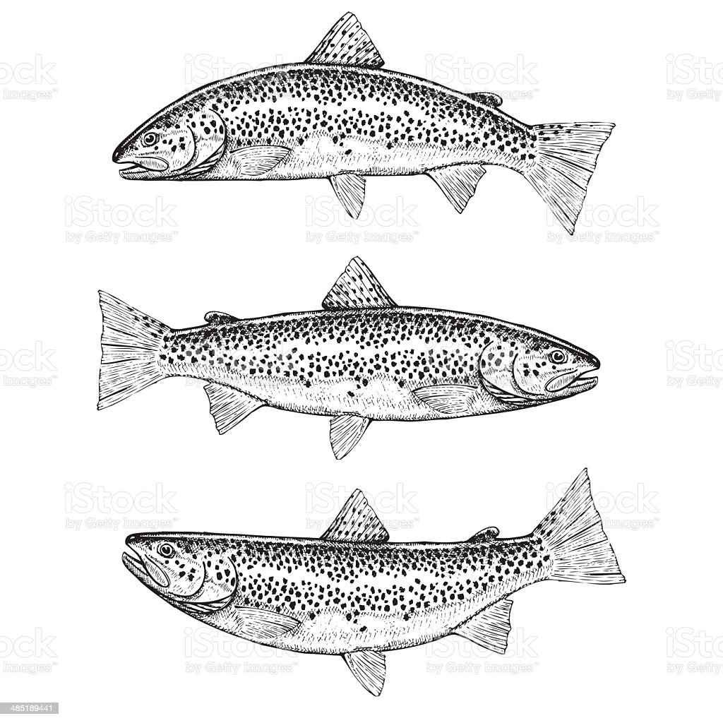 Hand Drawn Illustrations of Brown Trout vector art illustration