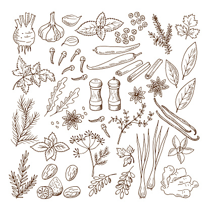 Hand drawn illustrations of different herbs and spices. Vector pictures set isolate on white