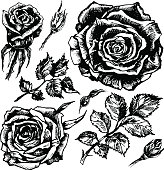 Hand drawn ink roses