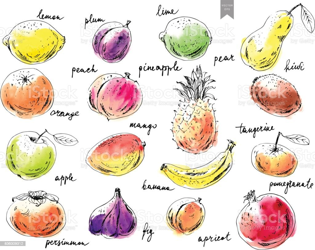 Hand drawn ink sketch fruits. vector art illustration