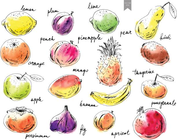 Hand drawn ink sketch fruits. Hand drawn ink sketch and watercolor stain fruits. Apple, orange, fig, pineapple, pear, mango, lime, plum, apricot, peach, kiwi, banana, pomegranate, persimmon. banana drawings stock illustrations
