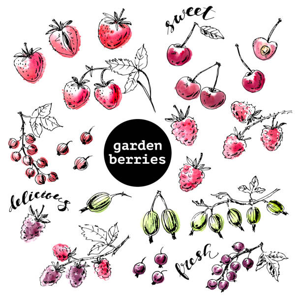Hand drawn ink sketch of garden berries with watercolor stains Hand drawn ink sketch of garden berries with watercolor stains. Strawberry, sweet cherry, black, red currant, gooseberry, blackberry, raspberry with branches and leaves. black currant stock illustrations