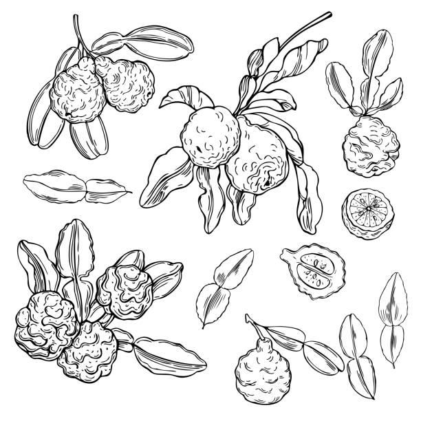 Hand drawn  kaffir lime (bergamot). Hand drawn  kaffir lime (bergamot).  Vector sketch illustration image stock illustrations