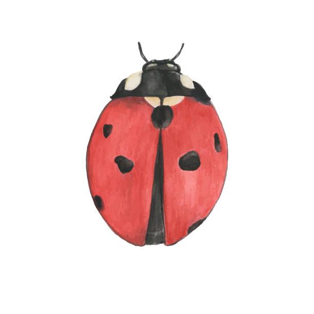 Hand drawn ladybug isolated on white background – artystyczna grafika wektorowa