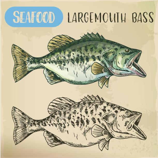 Hand drawn largemouth bass or gamefish vector art illustration