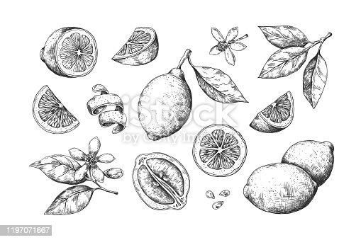Hand drawn lemon. Vintage citrus slices blossom and fruits, lemon and lime pencil outline sketch for juice labels. Vector engraving illustration summer food set