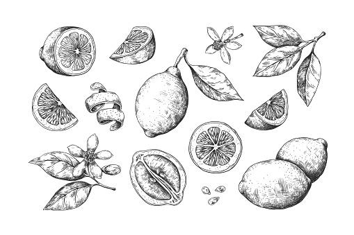 Hand drawn lemon. Vintage citrus slices blossom and fruits, lemon and lime pencil outline sketch for juice labels. Vector food set