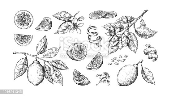 istock Hand drawn lemon. Vintage lime orange or lemon fruits blossom and branches for juice label. Vector outline food sketch 1216241345
