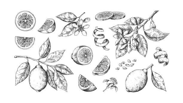 ręcznie rysowana cytryna. vintage limonki pomarańczy lub cytryny owoce kwitną i gałęzie na etykiecie soku. szkic żywności zarysem wektorowym - cytryna stock illustrations