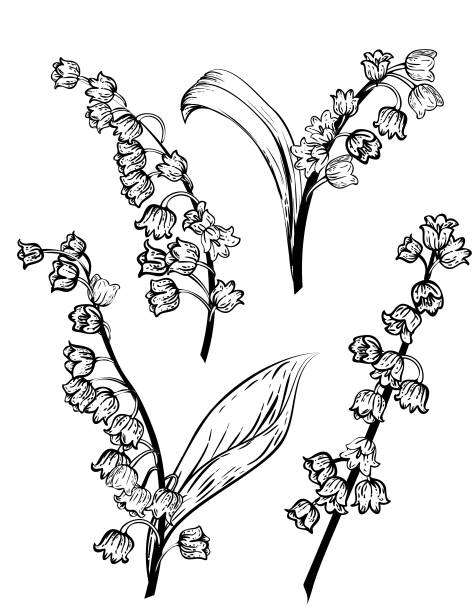 Hand Drawn Lily Of The Valley Flowers Hand Drawn Lily Of The Valley Flowers on a white background lily of the valley stock illustrations