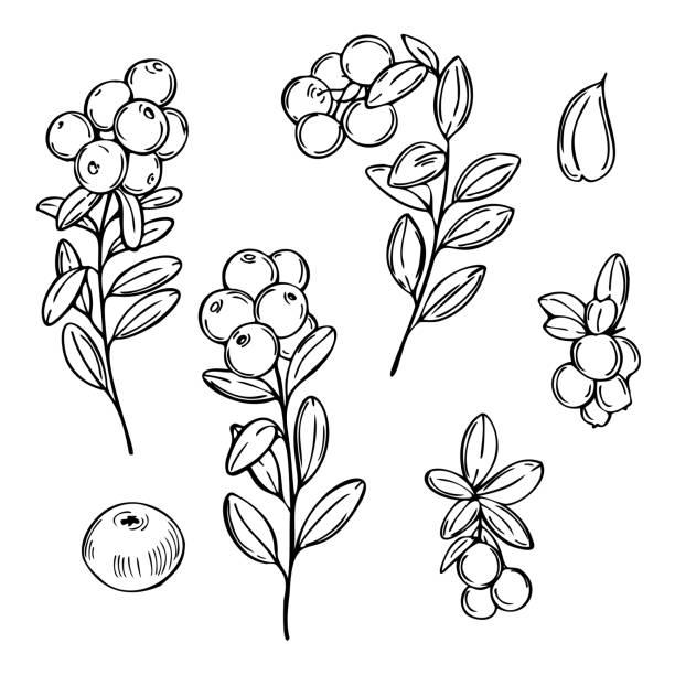 ilustrações de stock, clip art, desenhos animados e ícones de hand drawn lingonberry. cowberry. vector  illustration - natureza close up