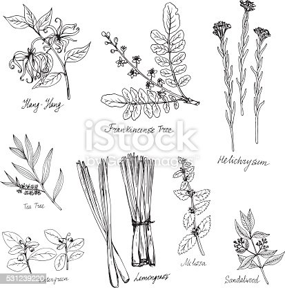 istock hand drawn medical and aromatic plants 531239220