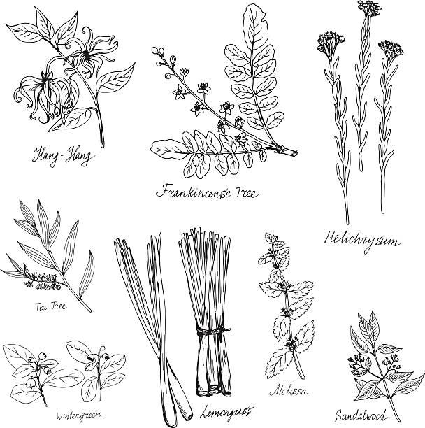 ilustrações, clipart, desenhos animados e ícones de desenho à mão médico e plantas aromáticas - saudade