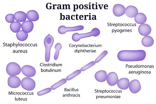 Hand drawn microbiology set. Gram positive bacteria.