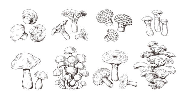 Hand drawn mushrooms. Vintage sketch of shiitake champignon fungus chanterelle, isolated organic food. Vector doodle set vector art illustration