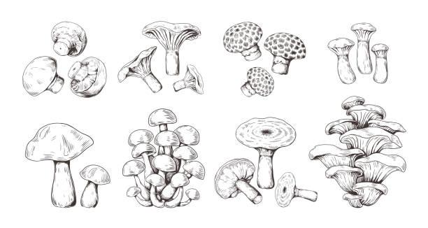 손으로 그린 버섯. 표고버섯 샴피뇽 곰팡이 살구, 고립 된 유기농 식품의 빈티지 스케치. 벡터 낙서 세트 - 버섯 stock illustrations