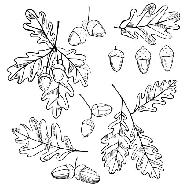 ilustrações de stock, clip art, desenhos animados e ícones de hand drawn oak leaves and acorns. - natureza close up