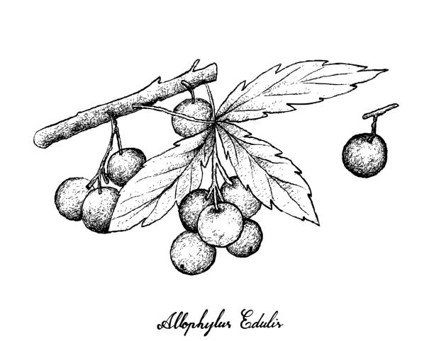 Hand Drawn of Allophylus Edulis Fruits on White Background Berry Fruits, Illustration of Hand Drawn Sketch Allophylus Edulis or Chal-Chal Fruits Hanging on The Bunch Isolated on White Background. fruta stock illustrations