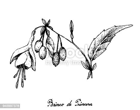 istock Hand Drawn of Brinco de Princesa Frutis on White Background 945997378