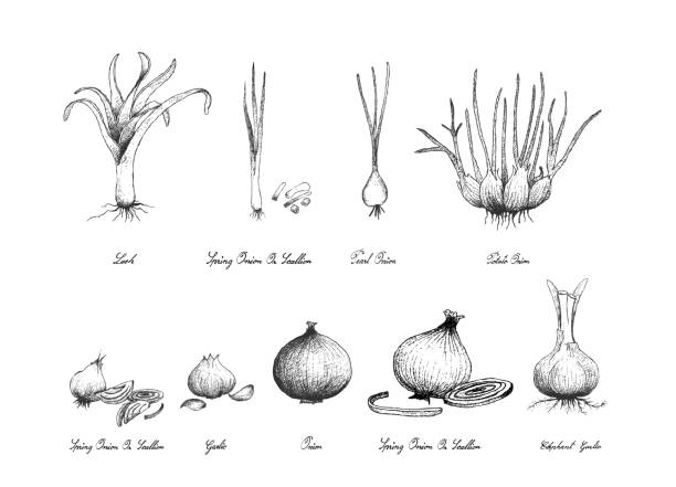 Hand Drawn of Bulb Vegetables on White Background Bulb and Stem Vegetable, Illustration Hand Drawn Sketch Fresh Elephant Garlic, Pearl Onion, Potato Onion and Scallion for Seasoning in Cooking. Isolated on White Background. scallion stock illustrations