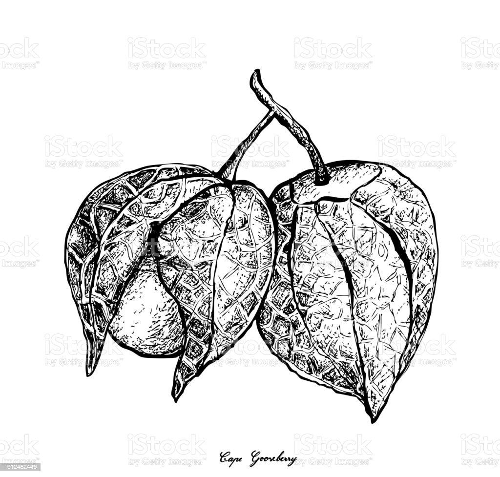 Mano dibujada de uchuva en fondo blanco - ilustración de arte vectorial