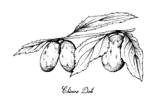 Hand Drawn of Chinese Date Fruits on White Background Tropical Fruit, Illustration of Hand Drawn Sketch Chinese Date, Jujube or Ziziphus Jujuba Fruits Isolated on White Background. High in Vitamin C with Essential Nutrient for Life. jujube candy stock illustrations