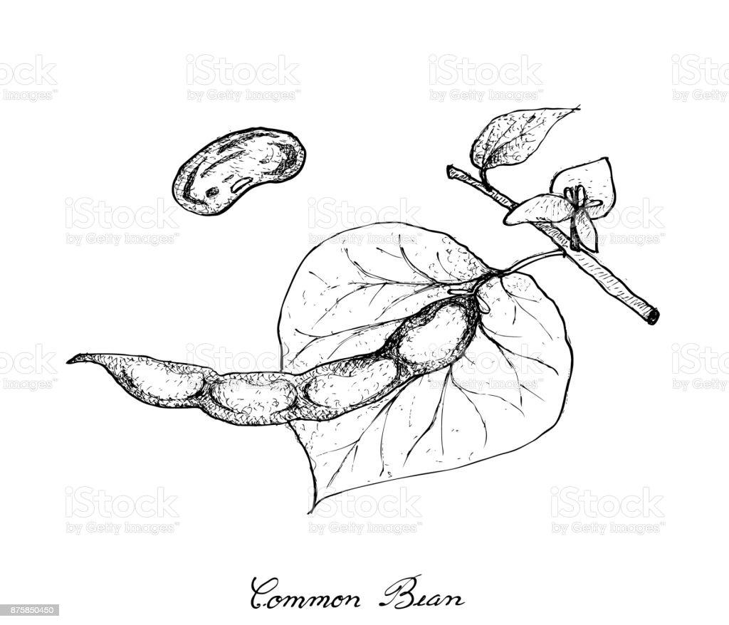 Hand Drawn of Common Bean Plants on White Background vector art illustration